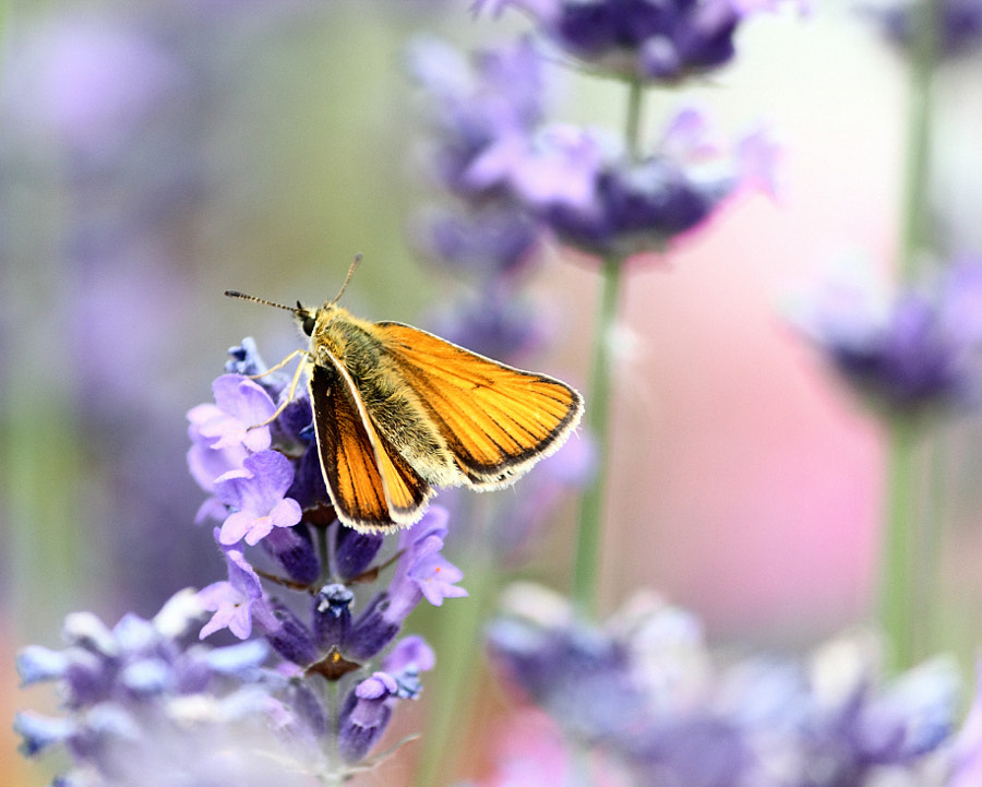 Large Skipper on Lavender