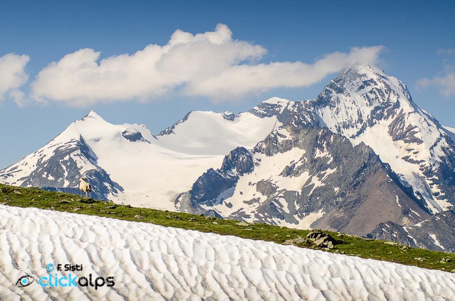 Photograph L'eleganza e...una simpatica ospite! (Conca di Arbolle, Valle d'Aosta) by Francesco Sisti on 500px