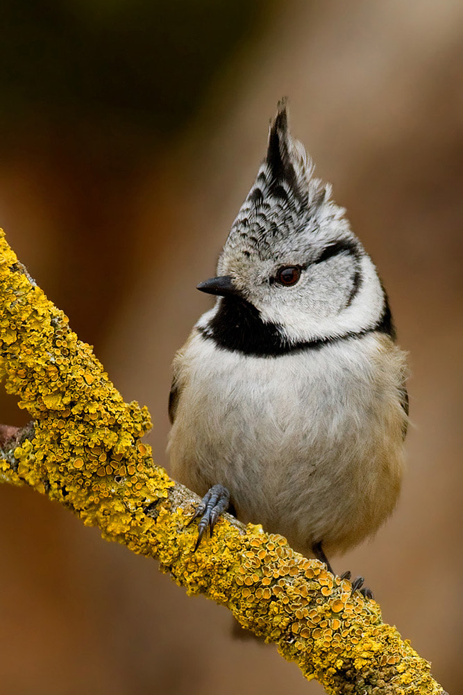 Photograph Crested tit by march graziano on 500px