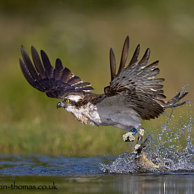 An Osprey pulling a trout from a lake...