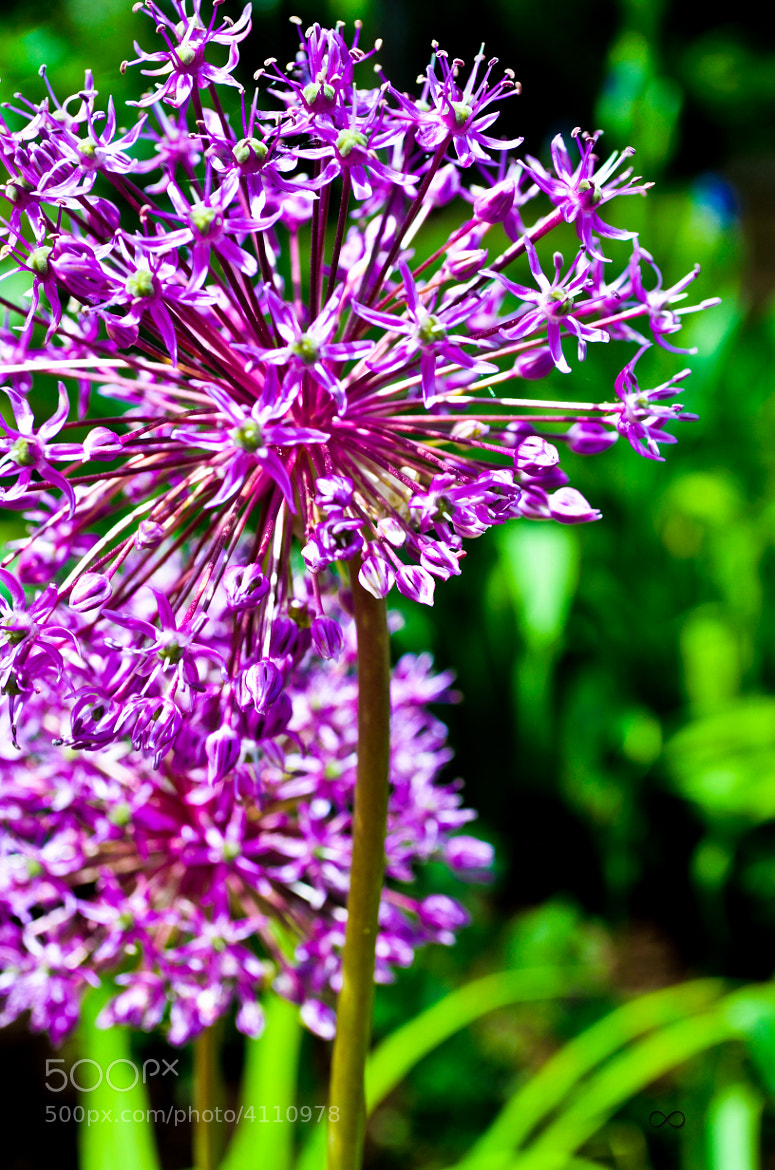 Photograph Purple Summer by cody  myers on 500px