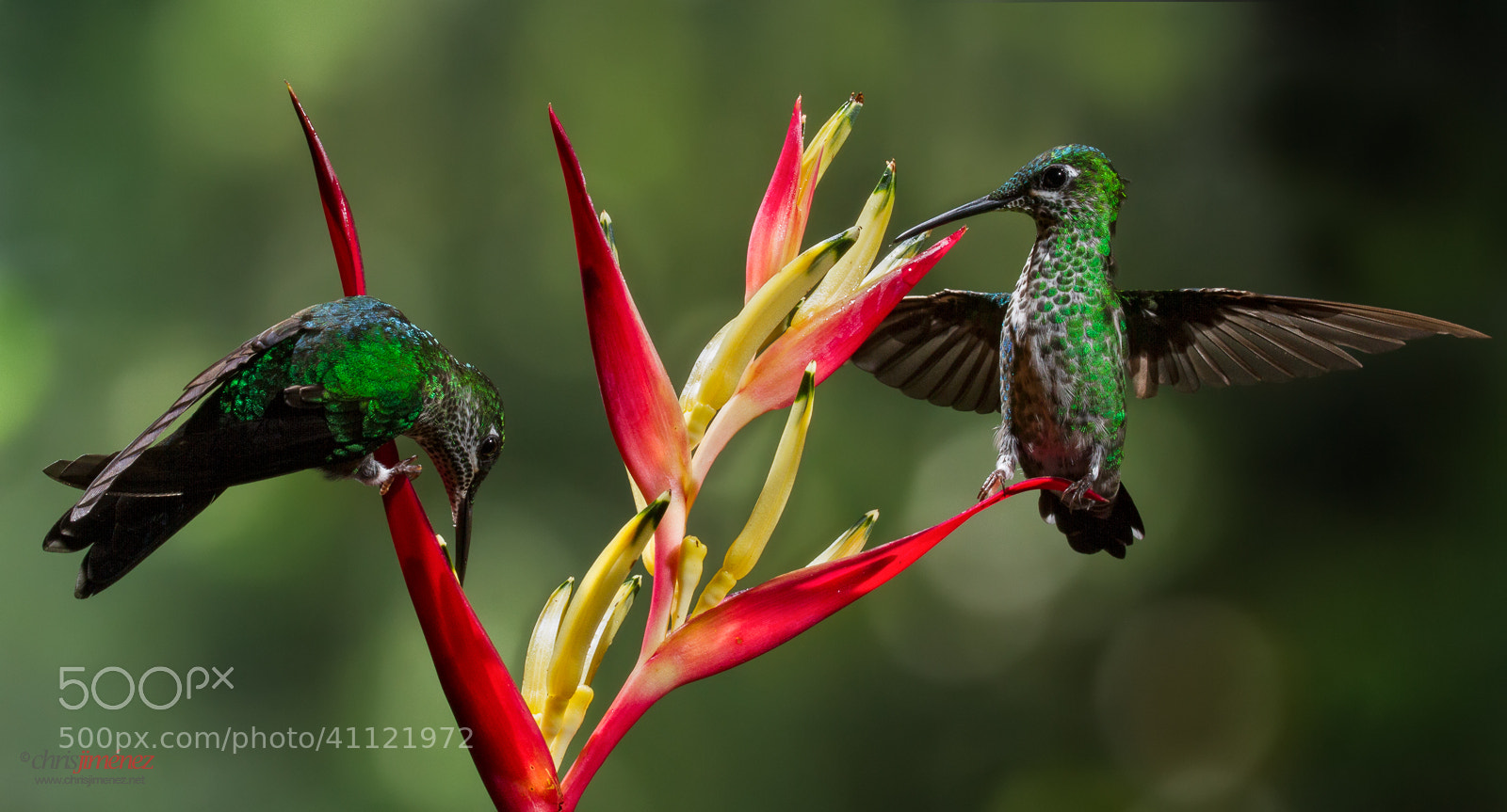 Photograph Green-crowned Brilliant by Chris Jimenez on 500px