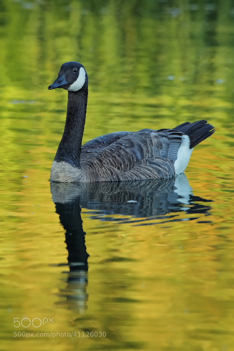 Photograph Canada Goose by Vincent Falardeau on 500px