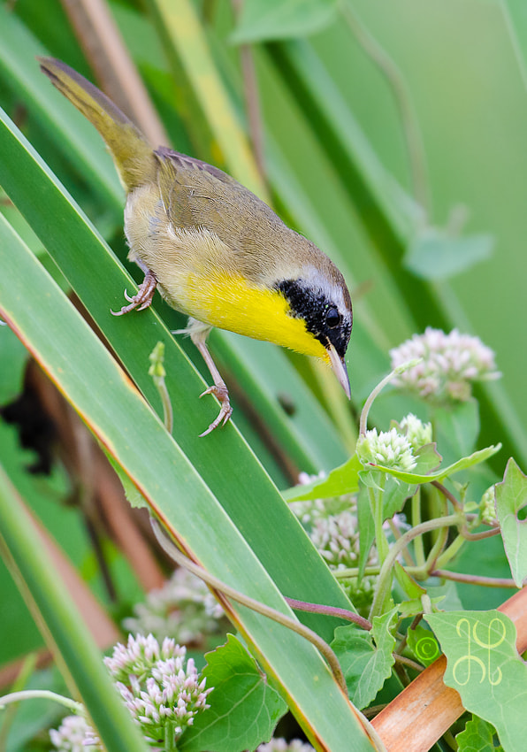 Photograph Yellow Throat by Geoff Powell on 500px