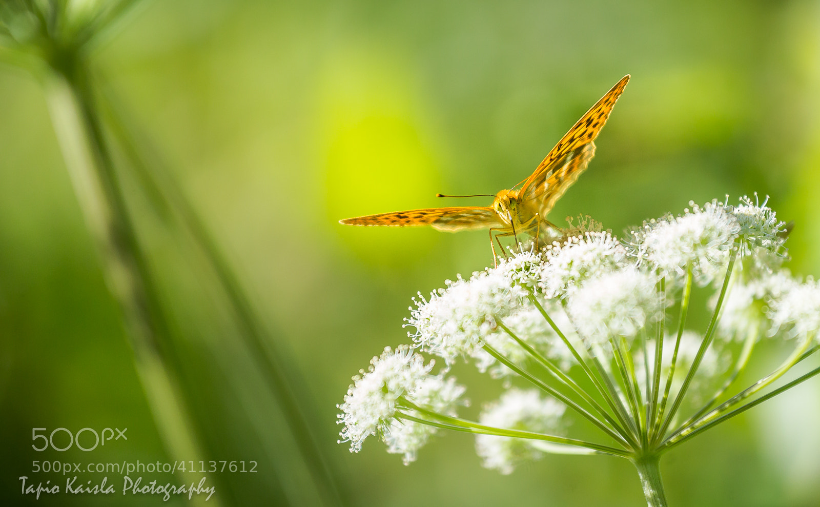 Photograph Silver-washed Fritillary on a Wild Angelica by Tapio Kaisla on 500px