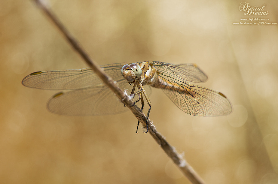 Photograph Dragonfly by Norbert G on 500px