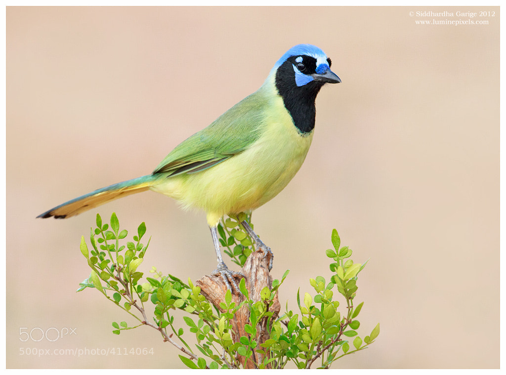Photograph Green Jay by Siddhardha Garige on 500px