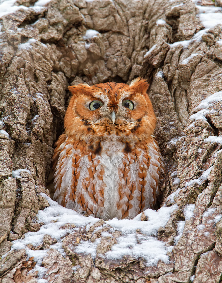 Photograph Eastern Sceech Owl (Red-Morph) by Joshua Clark on 500px