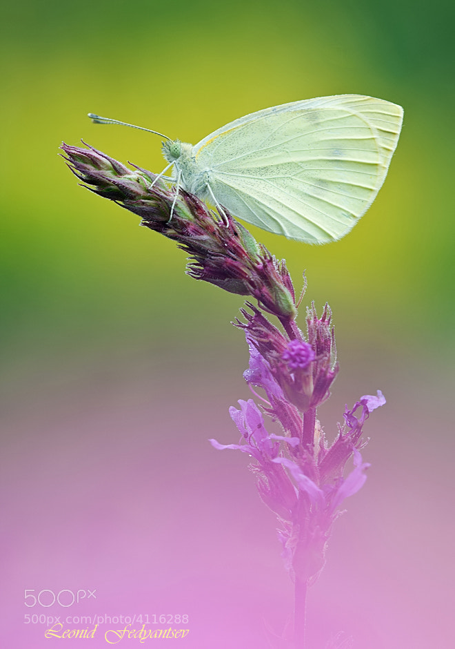 Photograph Etude With A Cabbage Butterfly by Leonid Fedyantsev on 500px