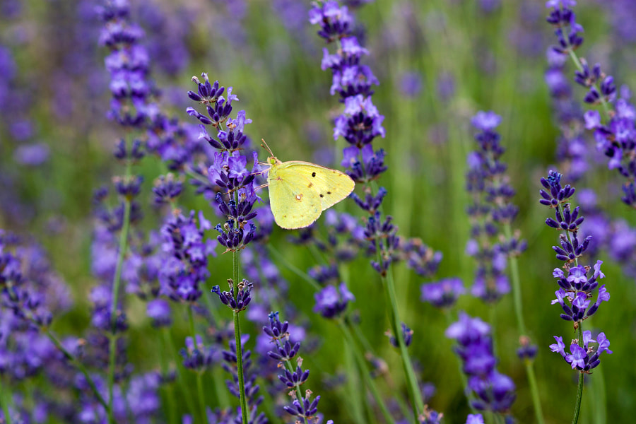 Photograph Yellow Butterfly by alaine  on 500px