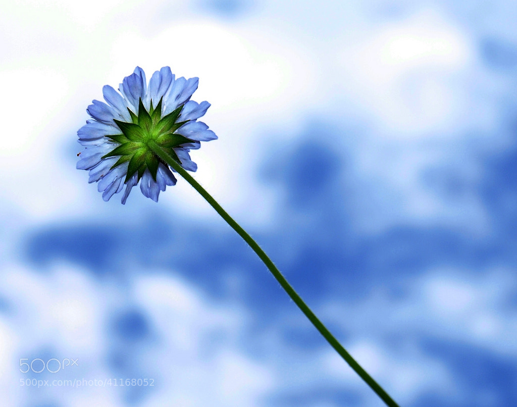 Photograph jUsT a FlOwEr GaZiNg At ThE SkY by ilias orfanos on 500px