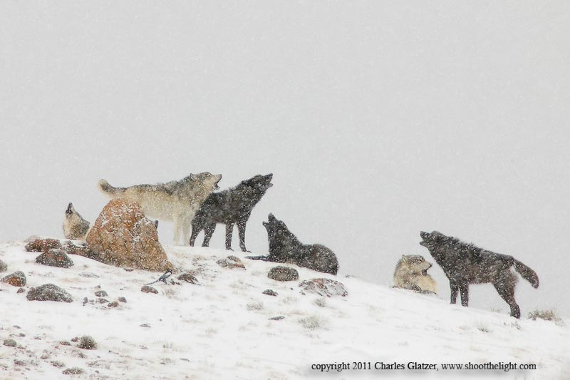 Photograph Six wolves a howling by Charles Glatzer on 500px
