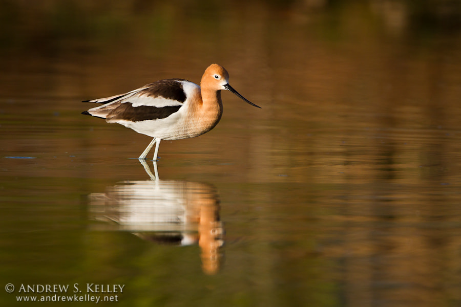 Photograph Avocet Reflection by Andrew Kelley on 500px