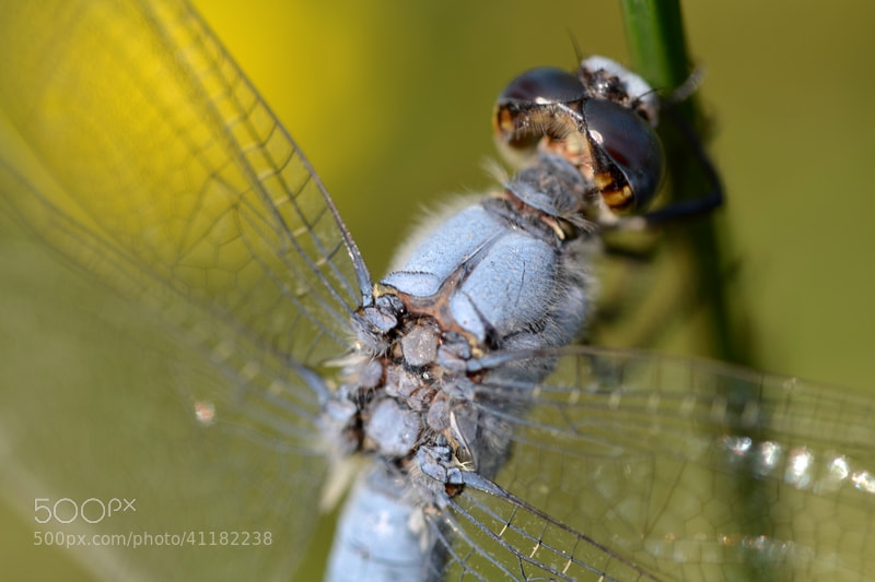 Photograph Dragonfly by Anne-Sophie Bonin on 500px