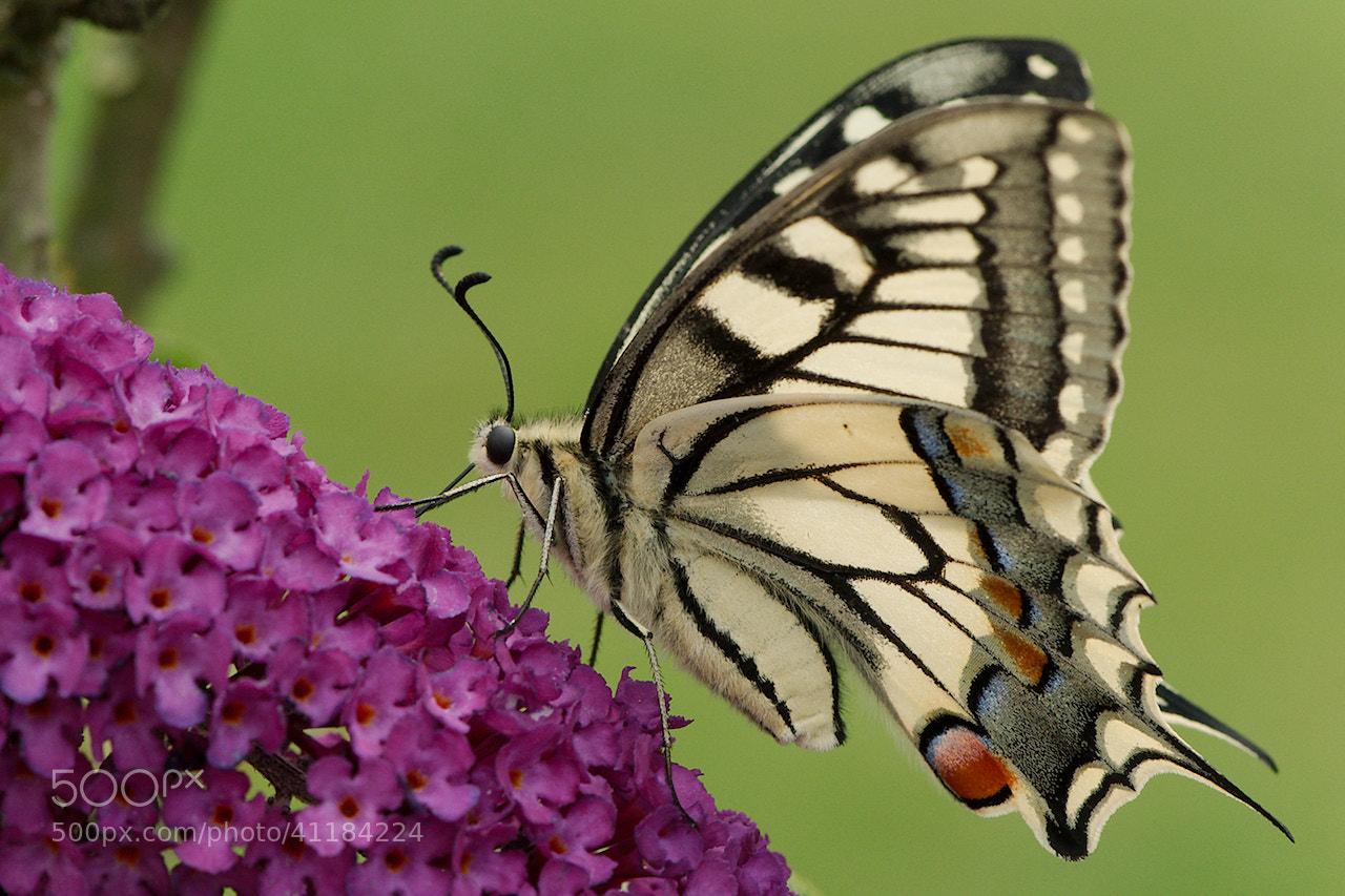 Photograph Schmetterling / Butterfly by Jörg Arlandt on 500px