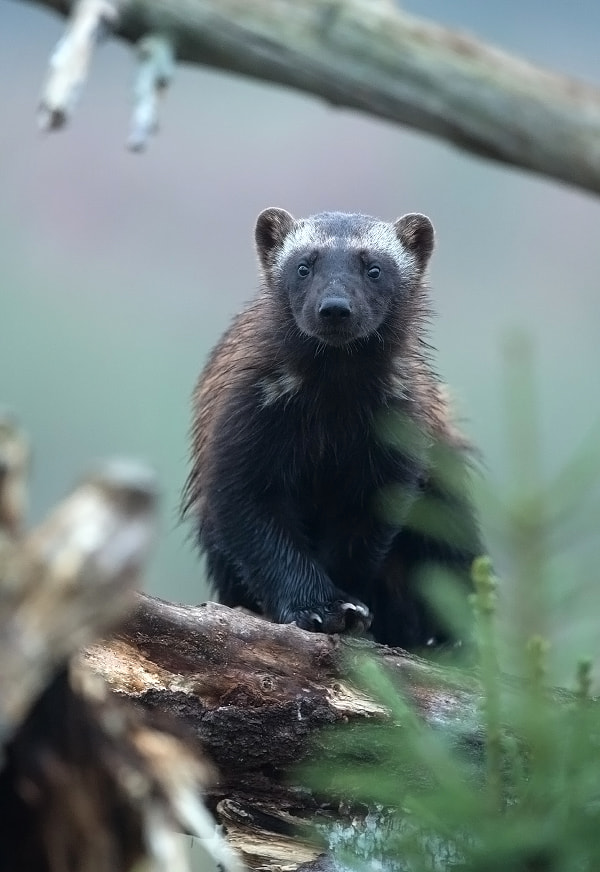 Photograph wolverine by Lauri Tammik on 500px