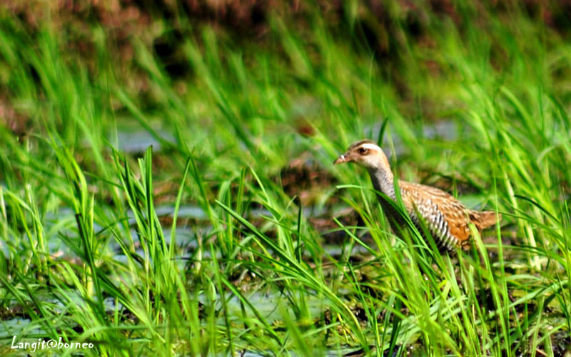 Photograph Buff banded-Rail by Langit Borneo on 500px