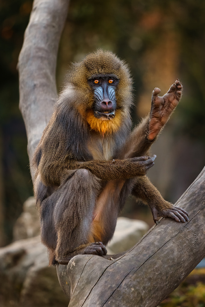 Photograph Mandrill by Markus Dorfmeister on 500px