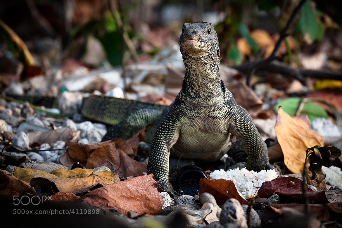 Photograph Monitoring monitor lizard by xflo : w on 500px