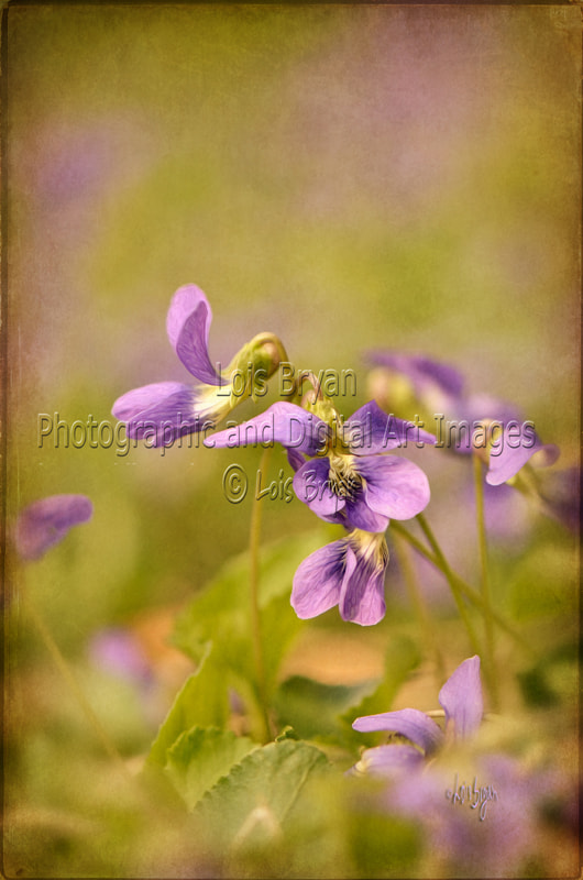 Photograph Playful Wild Violets by Lois Bryan on 500px