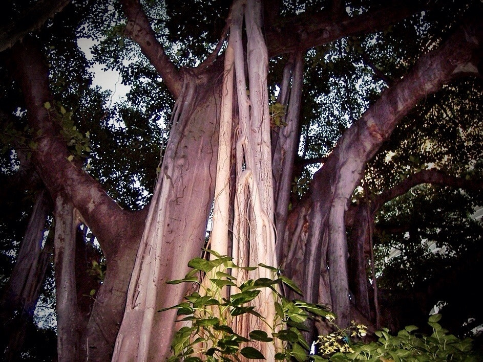 Photograph Banyan Tree in Honolulu by Al Fichera on 500px