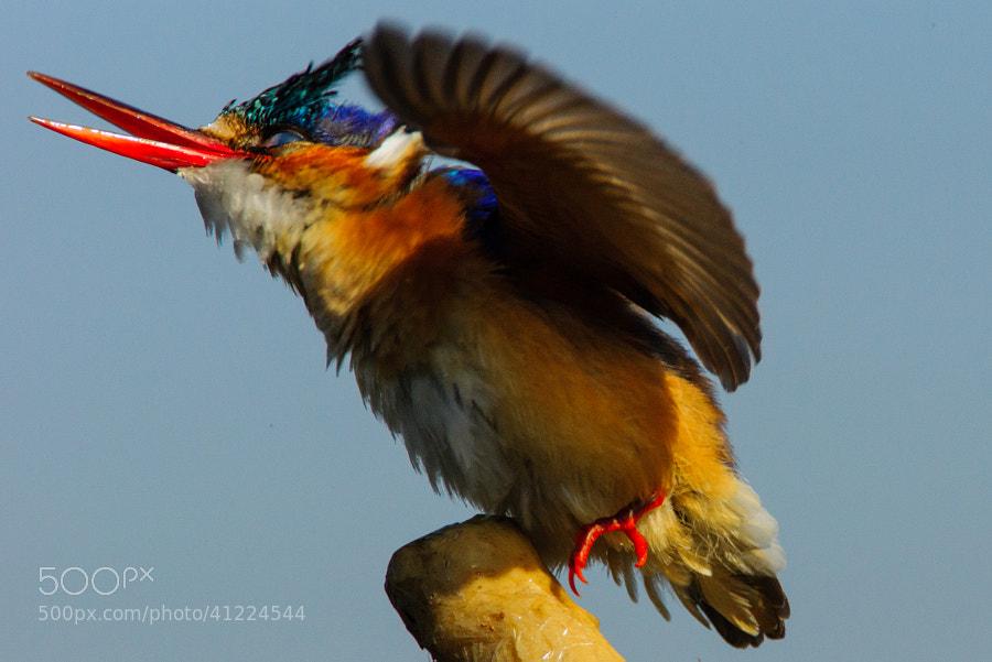 Malachite Kingfisher 1 by Wayne Holt on 500px.com