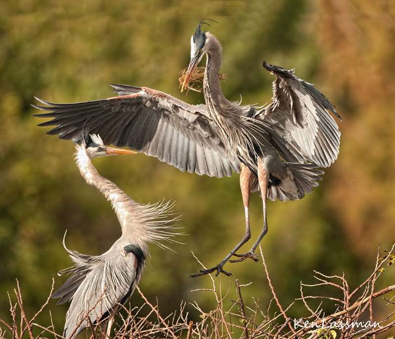 The Great Blue Herons are still working diligently on their nests.  Now that the sticks are in place the males have been instructed to bring in the soft materials to line the nest in preparation for the soon to arrive eggs.