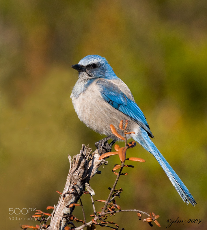 The Scrub Jay is a beautiful addition to the Florida wildlife but unfortunataely it's population is dwindling and perhaps in not the too distant future it could become extinct.  What a pity it would be as it is truly a treasure to see.