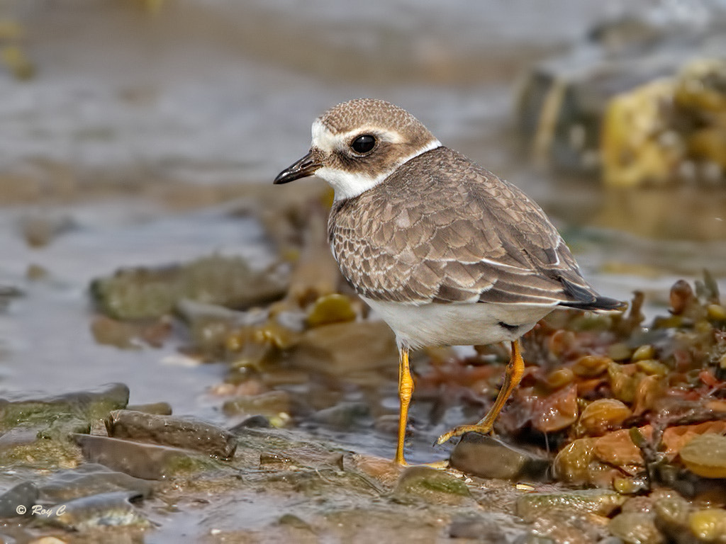 Photograph Ringed plover by Roy Churchill on 500px