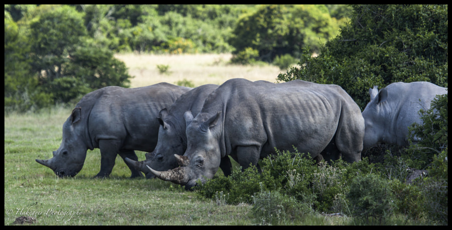 a healthy population of white rhinos @ amakhala game reserve, SA