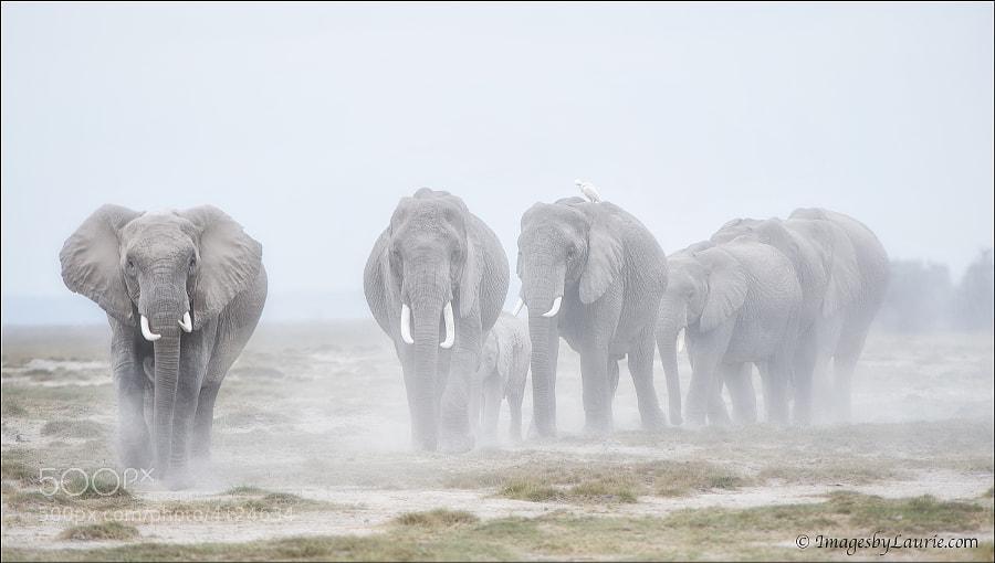 African Elephants Amboseli National Park, Kenya