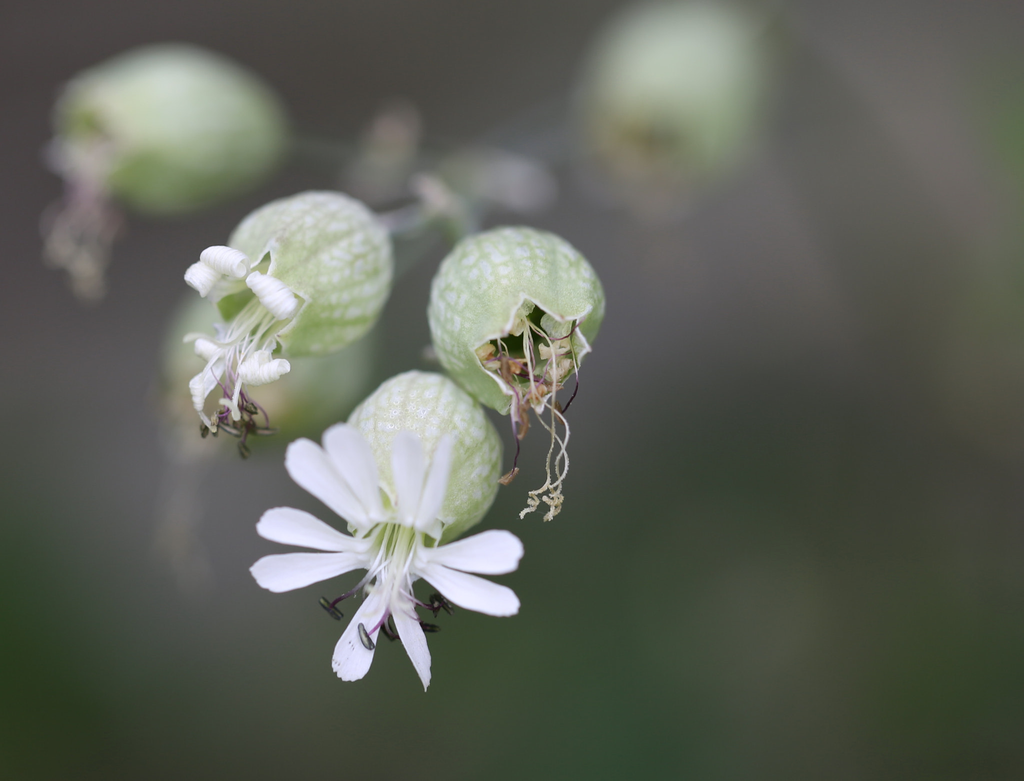 Photograph Silene Vulgaris by Eva Lechner on 500px