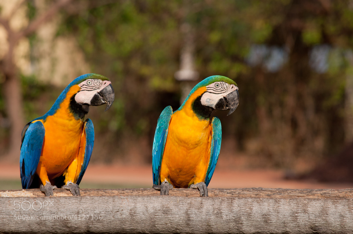 Photograph Macaws from Pantanal, Brazil by Wagner Garcia on 500px