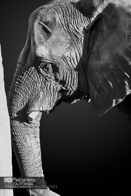 Photograph Elephant Oddyssey by Ivan Nicolau on 500px