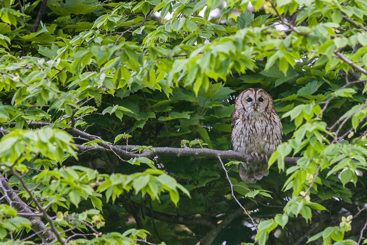 Photograph The 1st Tawny Owl to be found in Ireland by Craig Nash on 500px