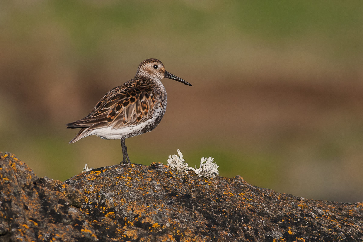 Photograph Dunlin by Craig Nash on 500px