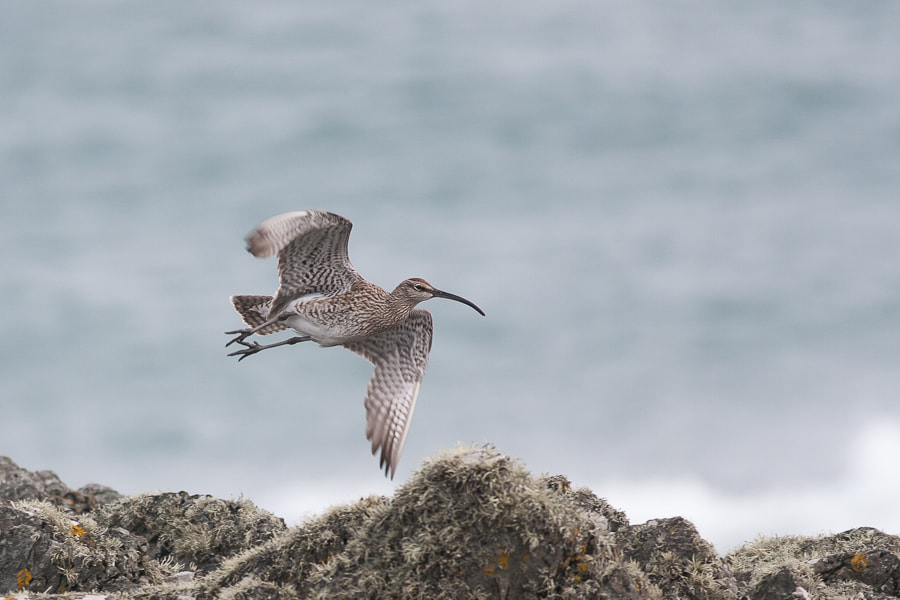 Photograph Whimbrel by Craig Nash on 500px