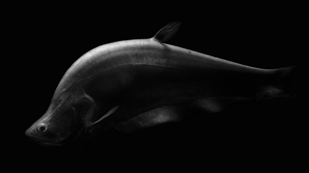 Photograph Clown knife fish : ) by Matcenbox  on 500px