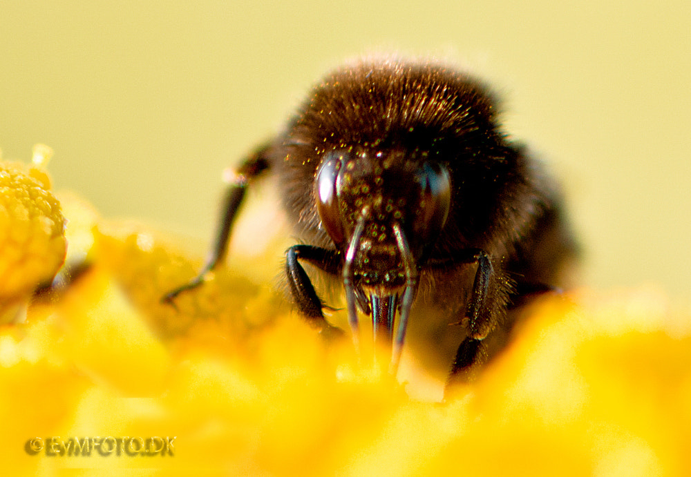 Photograph Bumble bee. by Eivind von Moos on 500px