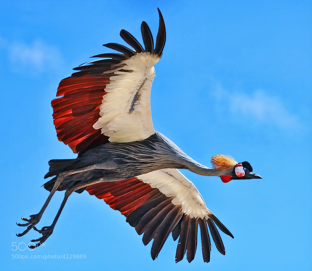 Photograph Crowned crane by Klaus Wiese on 500px
