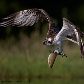 An Osprey in flight carrying a freshly caught Rainbow Trout...