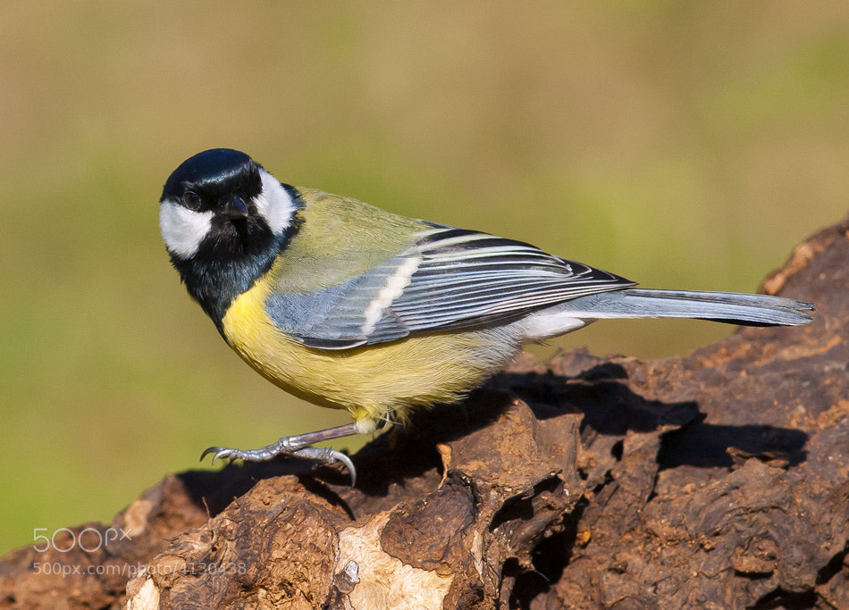 Photograph Parus major by Boyan  Iliev on 500px