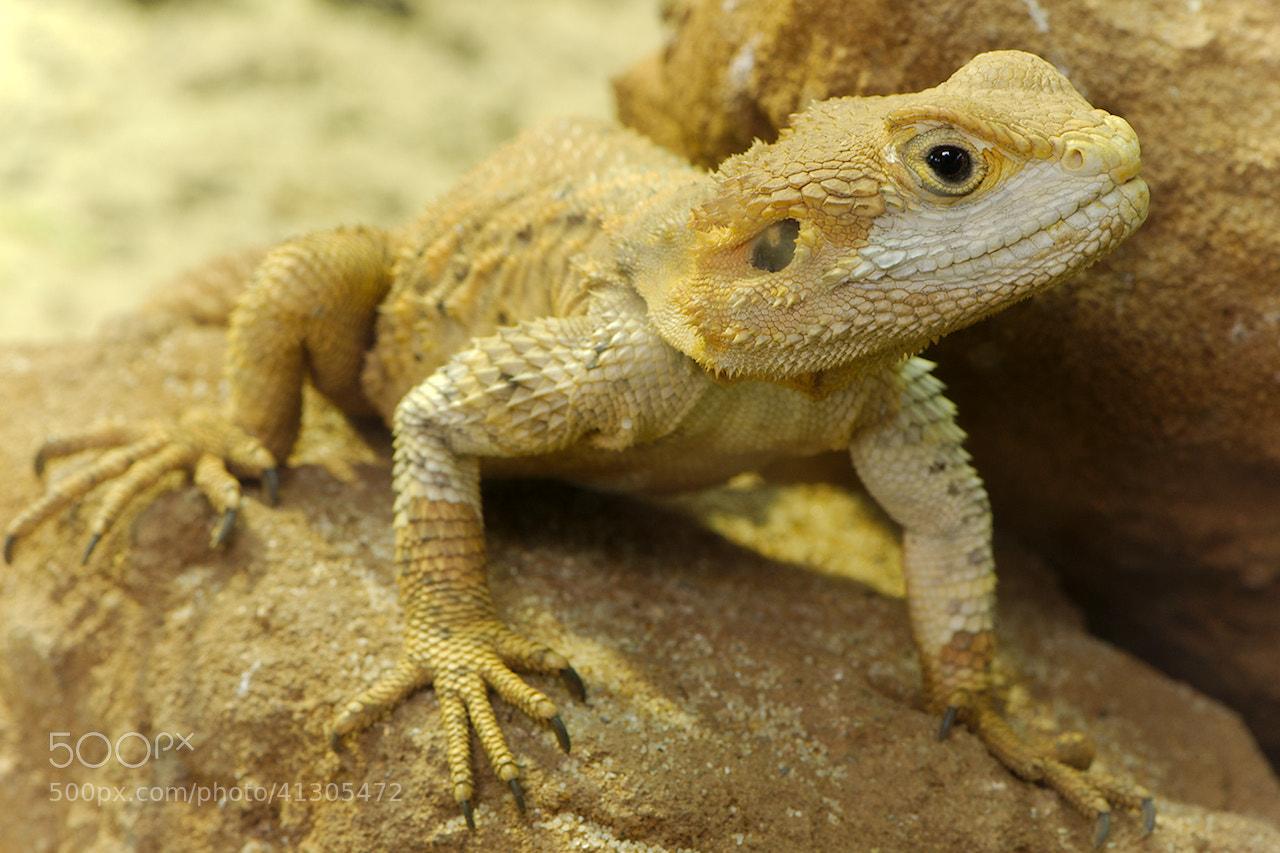 Photograph Echse / Lizard by Jörg Arlandt on 500px