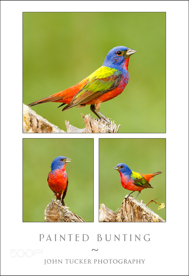 Photograph Painted Bunting by John Tucker on 500px