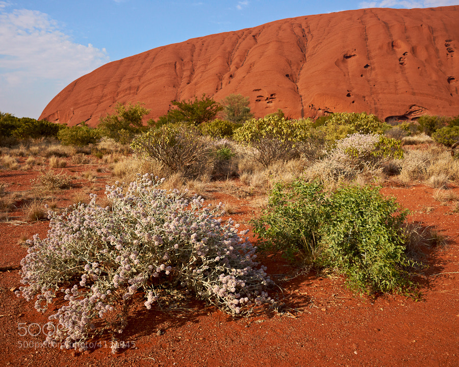 The desert around Uluru (Ayers Rock) was particularly spectacular this year as a result of abundant springtime rains.