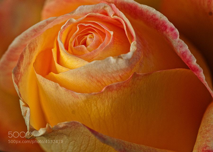 Whetstone Park of Roses,Clintonville,Ohio