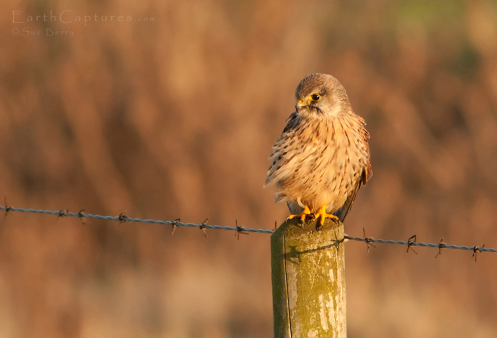 Photograph Kestrel by Sue Berry on 500px