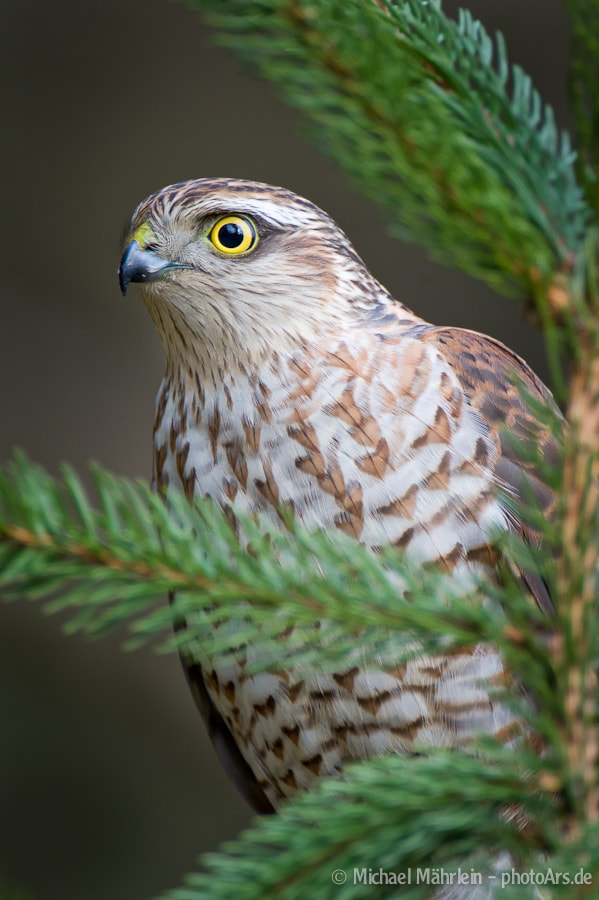 Photograph Eurasian Sparrowhawk (female) by Michael Mährlein on 500px