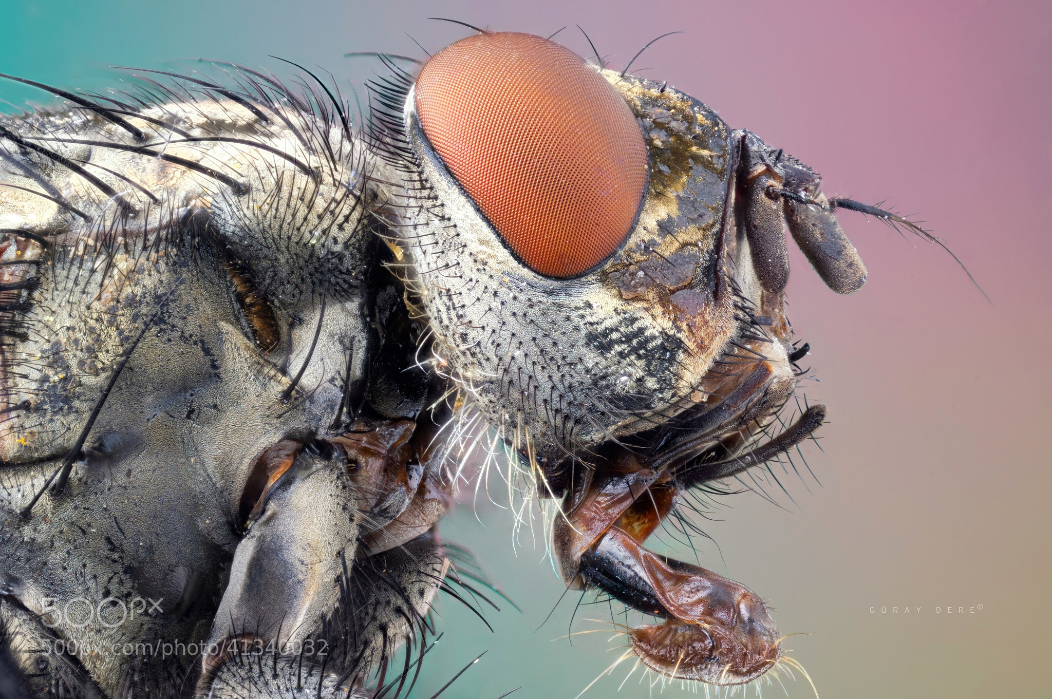 """Photograph Flesh fly - Sarcophagidae by Güray Dere on 500px"""" data-protect=""""Güray Dere"""" class=""""the_photo"""" style=""""max-height: 732px;"""