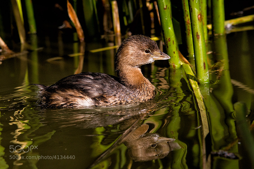 Photograph Grebe by Greg McLemore on 500px